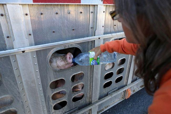 protection des animaux d'abattoir