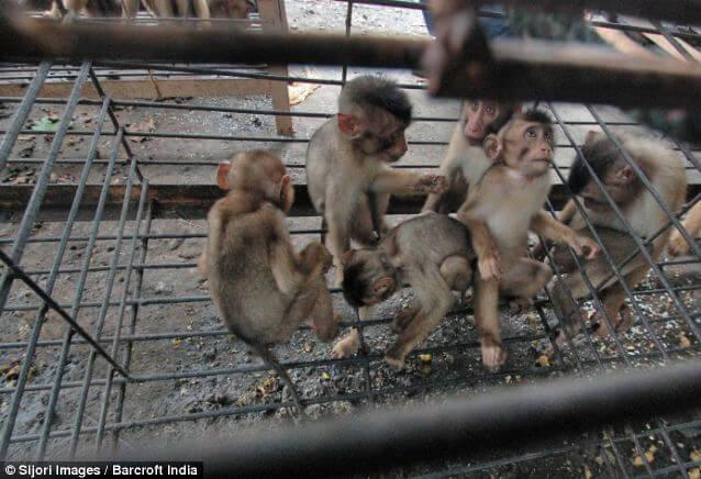 bebes singes recolte noix coco