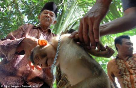 singe récolte noix de coco